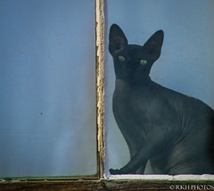 Staring Contest (Photobug70D) Tags: window cat watching bodie