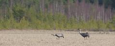 Grus grus (Wanha-Erkki, Old Eric, Gammal Erik, ) Tags: crane grue grusgrus kurki