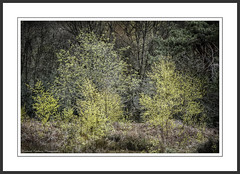 Bright Young Things (Chalky666) Tags: wood trees painterly tree leaves woodland spring silverbirch