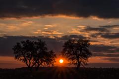Ein Frhlingstag endet. (thunderbird-72) Tags: silhouette evening abend frankreich sonnenuntergang sundown sunrays fr bume sunbeams apfelbaum spaziergang abendrot abendstimmung abendlicht obstbume waldwisse steineandergrenze alsacechampagneardennelorraine alsacechampagneardennelorrain