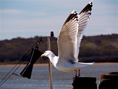 OutOnAWing (Hodd1350) Tags: christchurch birds wings gull feathers olympus quay dorset posts takingoff mudeford penf lumixlens