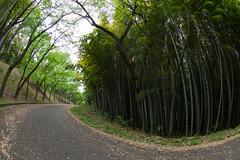 Autumn of bamboo (nak.viognier) Tags: osaka bamboogrove  ryokuchipark  lumixgfisheye8mmf35 olympusepl3 autumnofbamboo