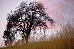 California oaks at sunset (alanmeyer.california) Tags: scenic landscape oak silhouette california foothills rocklin