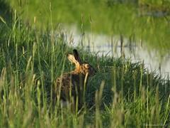 Ik weet van niks....... (manonvanderburg) Tags: wild nature field grass animal canon hare outdoor wildlife earlymorning natuur dew polder haas newfriend natuurfotografie crossingpaths sx60 powerrrrshot ikweetvanniks