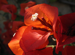 Bougainvillea in the Afternoon Light (Robb Wilson) Tags: flowers blossoms bougainvillea westhollywood orangeflowers springlight orangebougainvillea