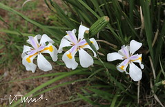 3 Large Wild Iris at the Boquern Volcano, El Salvador (ssspnnn) Tags: flores flower flor lirio lilly nunes iridaceae morea boquern dietesbicolor spanishiris dietesgrandiflora iridaceaefamily largewildiris canoneos70d spereiranunes snunes spnunes irisafricano irisjapones boquernvolcano