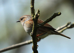 Heckenbraunelle (gutlaunefotos) Tags: singvogel heckenbraunelle