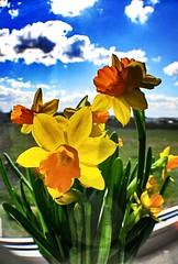 On the windowsill... (Inga P.) Tags: sky flower yellow spring sunny windowsill narcissus