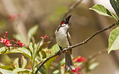 Red-whiskered bulbul (SUNITPICS) Tags: india green bird nature beauty fauna rebel kiss branch outdoor iit kanpur bulbul uttarpradesh redwhiskeredbulbul pycnonotusjocosus t2i canon55250is canon550d