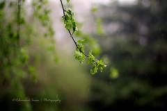 The Rain (|| Rehnumah Insan ||) Tags: shadow summer england green nature rain weather contrast canon season 50mm spring atmosphere rainy monsoon raindrops british 50mm18 canon600d