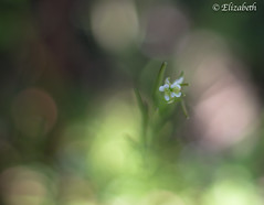 Your name always makes me smile (beth3974) Tags: flower bokeh tiny