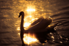 Project 366 - 123/366: Golden swan (sdejongh) Tags: sunset nature water animal proud backlight contrast project gold swan ripple may feather wave pride majestic graceful brid 2016 366 gygo 123366