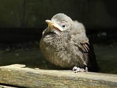 "Jeune merle (Daniel Biays "" VOIR MON PROFIL "") Tags: bird animal merle oiseau oisillon"