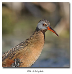 Rle de virginie / Virginia Rail IMG_3644 (salmo52) Tags: birds danville oiseaux virginiarail rallus ralluslimicola rallidae rledevirginie rallids tangburbank salmo52 alaincharette