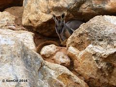 Monarto Zoo - Rock Wallaby (samcol6) Tags: nature animals rock lumix zoo sam south australia panasonic wallaby col 2016 monarto fz150 samcol6