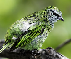 A Little Green (Paul E.M.) Tags: color tanager sdzoo