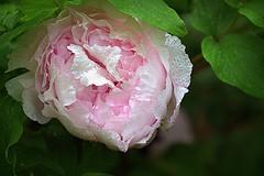 Peony bloom. (Joseph Skompski) Tags: pink flowers flower nature rain maryland peony raindrops peonies catonsville catonsvillemd