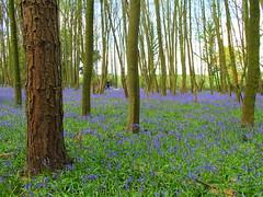 IMG_2132a (Joy Shakespeare) Tags: uk coventry woodlandtrust allesley elkinwood