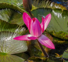 Pink waterlilly with male Blue skimmer dragonfly (Anni - with camera) Tags: waterlily lily dragonfly pads pinkwaterlily blueskimmer