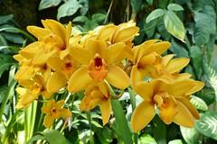 Panasonic FZ1000, Orchids, Botanical Gardens, Montral, 24 April 2016 (5) (proacguy1) Tags: orchids montral botanicalgardens panasonicfz1000 24april2016