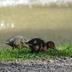 Eendenkuikentjes (Geziena) Tags: bird animals duck outdoor sony dieren vogel eendje jong kuiken kuikentjes dschx300
