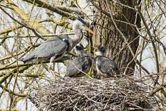 Parenthood (Andrew_Leggett) Tags: tree forest spring nest ardeacinerea chicks nesting greyheron andrewleggett