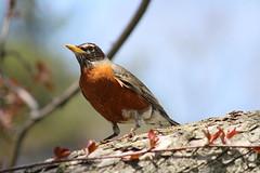 American Robin (RZaichkowski) Tags: toronto robin birds highpark april americanrobin 2016 canonrebelt5