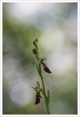 Fiore 193 (Outlaw Pete 65) Tags: orchid flower macro nature closeup italia colours natura fiore colori lombardia orchidea sigma105mm collebeato nikond600
