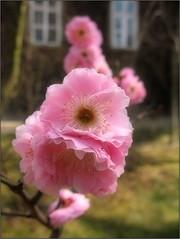 (Tlgyesi Kata) Tags: window spring blossom pinkflower ume botanicalgarden japaneseapricot fvszkert prunusmume chineseplum botanikuskert japanischeaprikose knaikajszi withcanonpowershota620 japanischepflaume japnkajszi