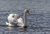 Swan-0010.jpg (vorneo) Tags: wild swan familyanatidae wildbird orderanseriformes bird kingdomanimalia genuscygnus muteswan classaves speciescolor binomialnamecygnusolor phylumchordata