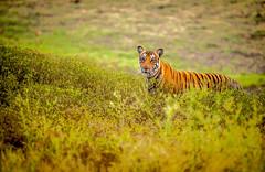 Tiger (maverickbull) Tags: india beautiful animal landscape stripes wildlife tiger serene backwaters pristine
