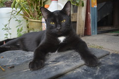 _DSC0391 (mohamad_hassrul) Tags: nature cat blackcat comel talit kucing binatang catblack kucinghitam binatangpeliharaan kucingcomel kucingitam
