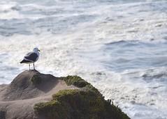 Pescadero, CA (relsham) Tags: ocean california bird beach water seagull marincounty