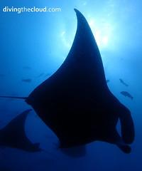 Manta birostris (divingthecloud) Tags: sea fish pez contraluz mar underwater diving maldives manta backlighting buceo mantabirostris maldivas fotosub bajoelagua