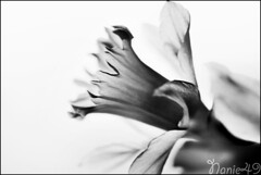 Narcisse2. (nanie49) Tags: france flower fleur nikon flor nb bn d750 narcisse 花 blume fiore francia angers زهرة 150mm цветок פרוח nanie49