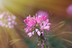 Flower power (sydbad) Tags: sun flower ray power sony voigtlander 75mm alienskin sonya7 ilce7