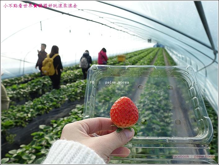 草莓園採草莓 (8).JPG