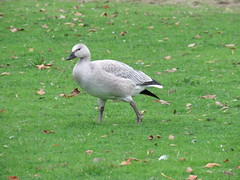 Snow Goose (Chen caerulescens) (Crappy Wildlife Photography) Tags: park lake state goose sammamish