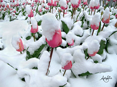 Tulips in Snow (Galactic Dreams) Tags: winter snow death hope stand spring tulips inspired help tulip dreams chooselife strong brave inspirational resilient ambition mentalhealth snowcovered springsnow pinktulips bebrave springflowerssnow fieldoftulips bestrong earlyspringflowers beunique bebold snowcoveredflowers flowersinsnow snowcoveredtulips hopefulwishes chartyourowncourse