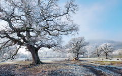 Frosty morning (Chris Tid) Tags: trees winter frost sheep powys hoar