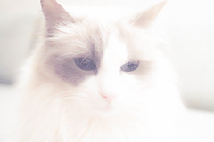 Lessie (johanssoneva) Tags: highkey katt fotosondag fs160207