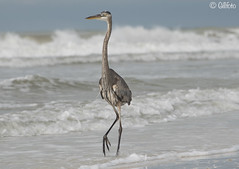 Great Blue Heron on Tigertail beach (Gillfoto) Tags: florida marcoisland beach surf bird seabird heron greatblueheron wow ardeaherodias