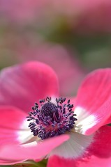 anemone (snowshoe hare*) Tags: flowers flower anemone botanicalgarden  dsc0291