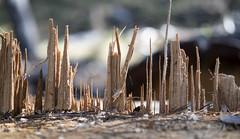 Splintered Skyline IV (Joe Josephs: 2,600,180 views - thank you) Tags: california trees abstract art woods fineartphotography californiacentralcoast travelphotography fineartprints joejosephs joejosephsphotography