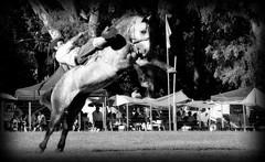 El tordillo negro (Eduardo Amorim) Tags: horses horse southamerica argentina criollo caballo cheval caballos cavalos pferde cavalli cavallo cavalo gauchos pferd ayacucho chevaux gaucho amricadosul gacho amriquedusud provinciadebuenosaires  gachos  sudamrica suramrica amricadelsur sdamerika crioulo caballoscriollos criollos jineteada  buenosairesprovince americadelsud gineteada crioulos cavalocrioulo americameridionale caballocriollo eduardoamorim cavaloscrioulos cavall