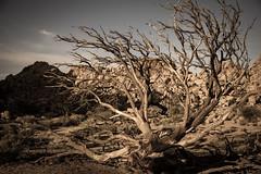 dead tree (LavyBpositive) Tags: california park tree dead sand desert joshua mort dry copac uscat pustietate