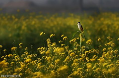 BIRD WITH MUSTARD FEILD (PHOTOROTA) Tags: pakistan bird nikon flickr punjab abid d610 photorota