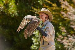 1T9A1279 (johncarney) Tags: bird animal fauna australia healesville healesvillesanctuary victoria owl barkingowl ninoxconnivens winkingowl barkingboobook