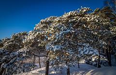 Snowy pine (mika.laitinen) Tags: blue winter sky white snow tree green nature sunshine forest suomi finland landscape helsinki vuosaari uusimaa uutela canon7d tokina1116mm