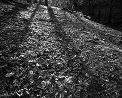 Long tree shadows (Jonathan Carr) Tags: shadow abstract tree rural lens landscape 4x5 lf abstraction northeat bulldog4x5 rolleirpx25 adoxfx39 stanleyburnwoods bwblackwhitemonochromefilmnikkor